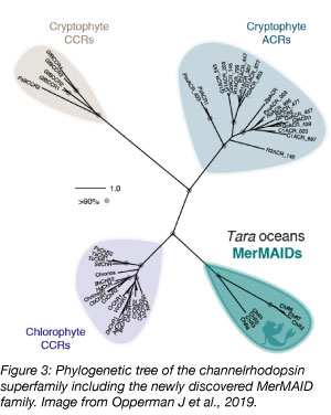 MerMAID channelrhodopsin phylogeny tree