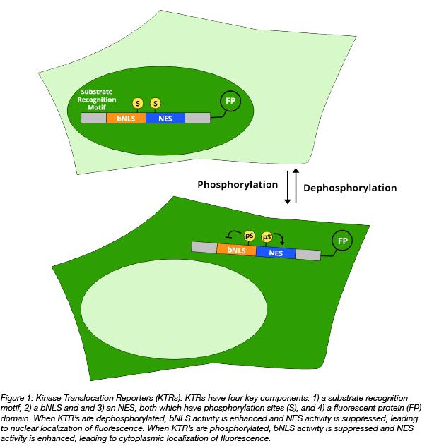 Kinase translocation reporter schematic