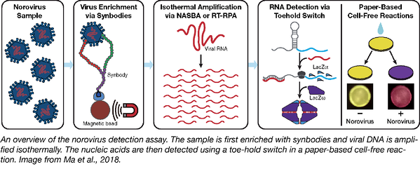 Norovirus detection toehold switch