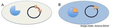 A multiple cloning site (MCS) is present within the lacZ sequence in the plasmid. If DNA is inserted at this MCS in the plasmid, the lacZ protein is disrupted, functional β-galactosidase enzyme is not produced and colonies are white. If DNA is not inserted at this MCS in the plasmid, the laxZ protein is not disrupted, functional  β-galactosidase enzyme is produced and colonies are blue.