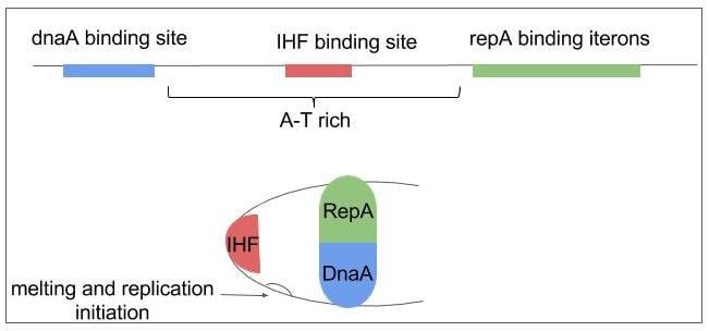pSC101 replication