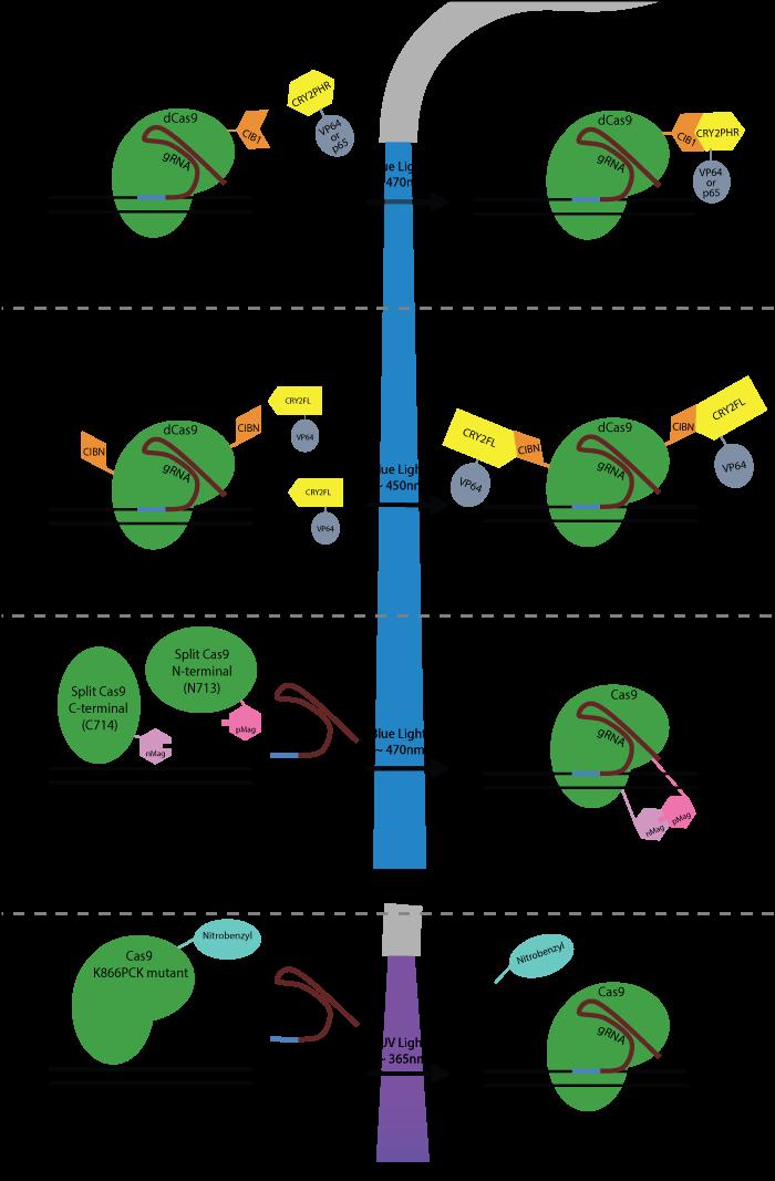 photoactive-crispr-optogenetics-schematic-final.png
