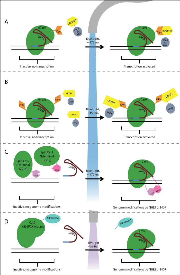 photoactive crispr optogenetics schematic