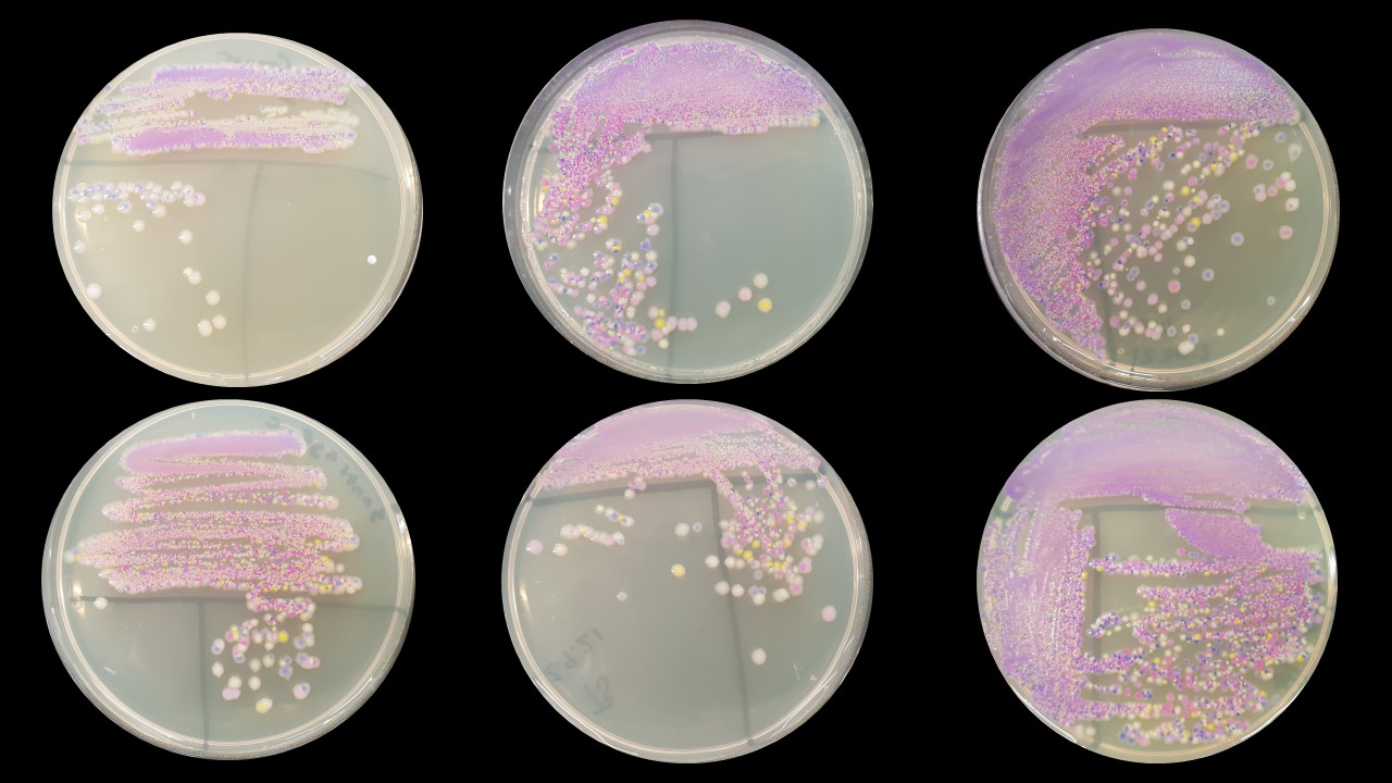 Six agar plates on a black background. Each plate contains a streak plate of a mixture of bacteria that's pink in the initial streak and separates out to individual colonies.