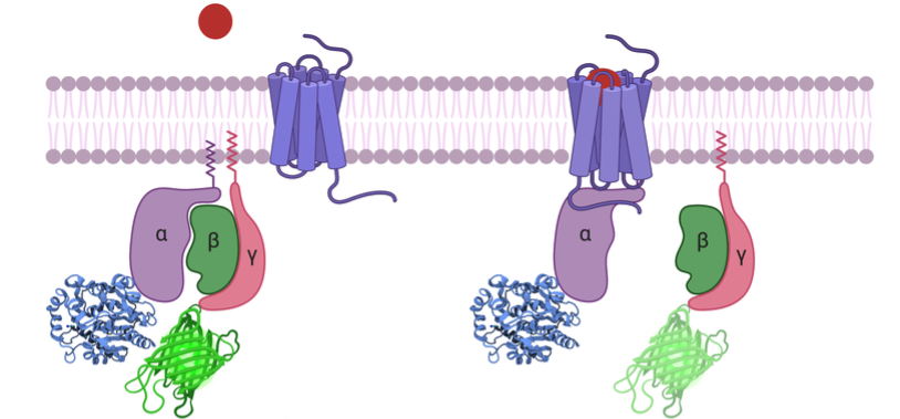 A schematic of the cell membrane with a GPCR and the transducer complex. When the GPCR binds the ligand, the transducer complex dissociates resulting in a decrease in BRET.