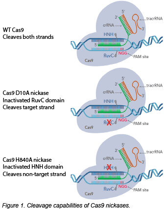 Schematic of Cas9 nickases compared to wild-type Cas9. Wild-type Cas9 cleaves both strands of DNA. Cas9 D10A nickase has an inactivated RuvC domain and cleaves target strand. Cas9 H840A nickase has an inactivated HNH domain and cleaves non-target strand.