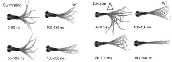 Optogenetics-Zebrafish-Behavior